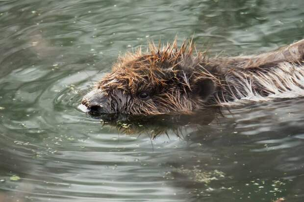 Фото дня: в Ботаническом саду запечатлели купание бобра