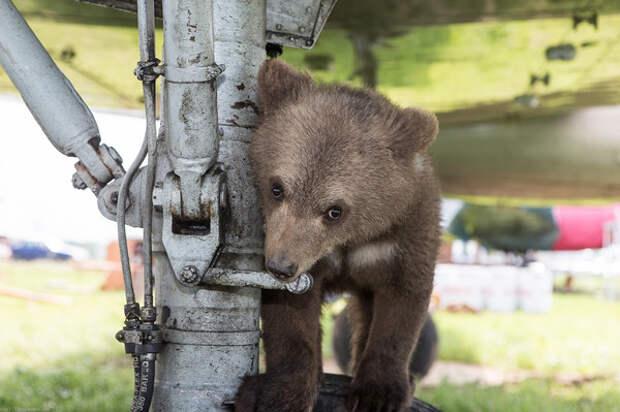 Медвеженок Мансур  Мансур, Олег Иванов, авиация, медведь