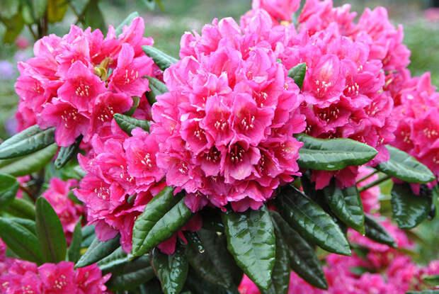 Рододендрон — роскошное украшение любого сада!