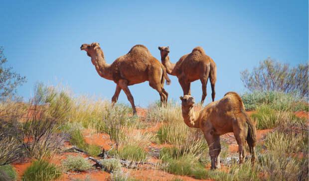 Откуда в Австралии стада диких верблюдов