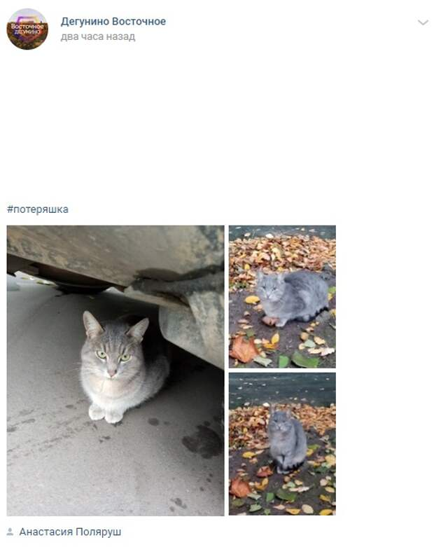 Потерявшийся в Восточном Дегунине кот ищет передержку