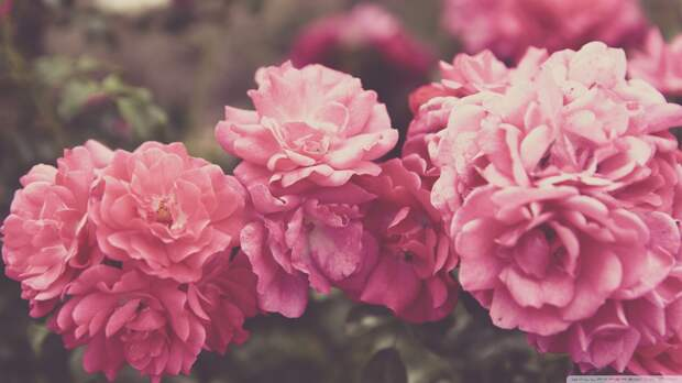 rose_garden_vintage-wallpaper-1280x720