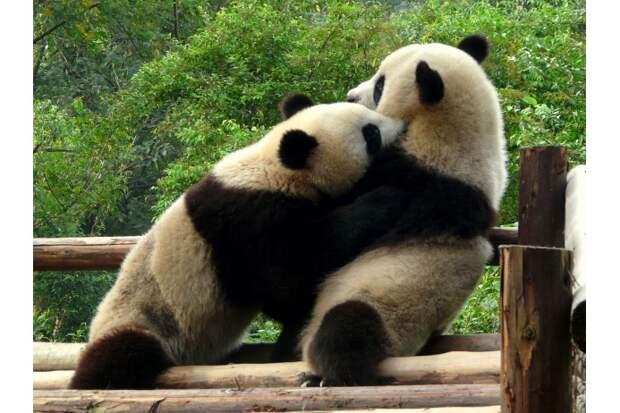 В неволе панды могут играть друг с другом несколько часов подряд. В зоопарках за их кувырканиями и объятиями обожают наблюдать туристы