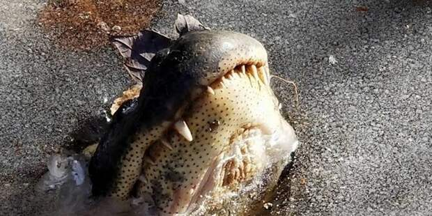 Как аллигаторы переживают морозы аллигаторы, в мире, животные, жизнь, мороз