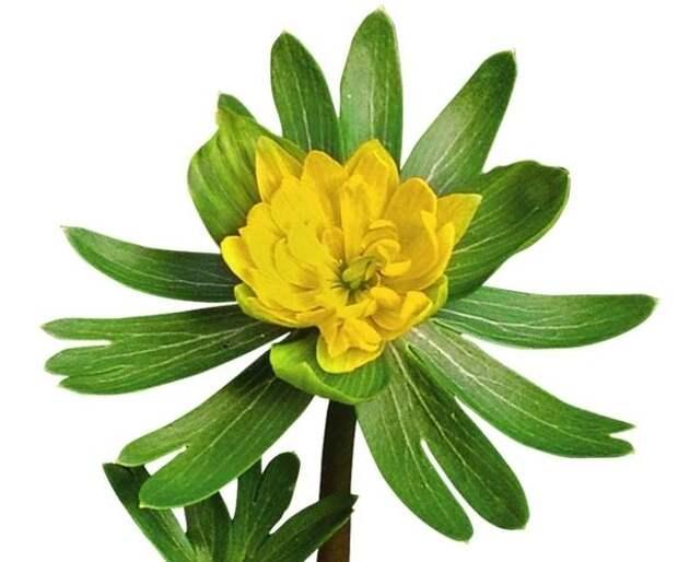 У махровых цветков весенника зимнего сорта Noël Ayres броская желто-зеленая окраска.