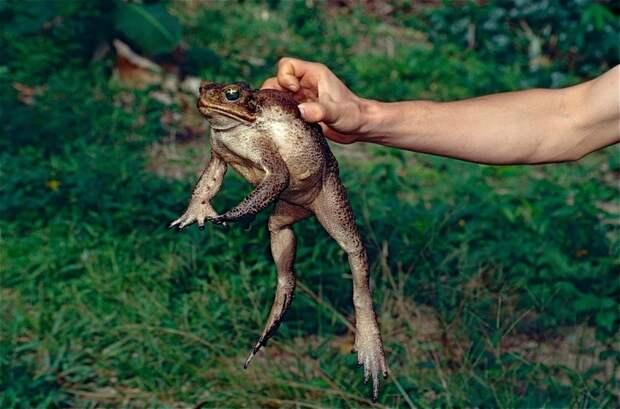 Смертоносная жаба-ага: почему ее обожают австралийские собаки
