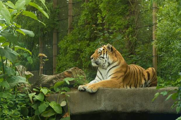10. Амурский тигр барс, коала, панда, редкие животные, тигр