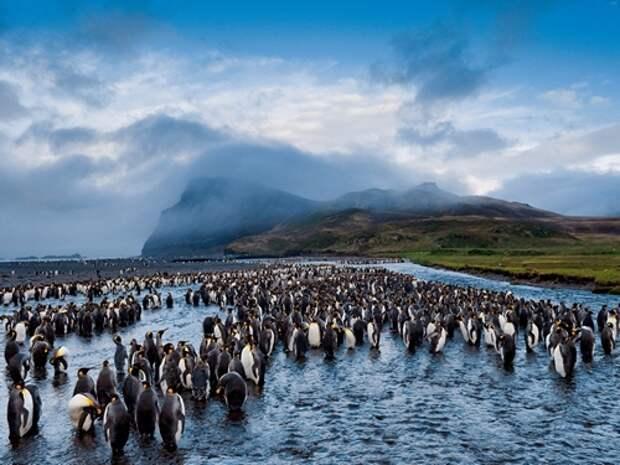 Императорский-пингвин-Описание-и-образ-жизни-императорского-пингвина-2