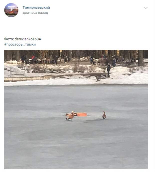Фото дня: огари на Тимирязевском пруду ждут  весны