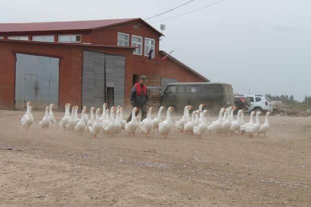 Первая гусиная ферма появилась в Удмуртии