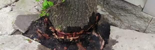 Обработали корни керосином: компанию наказали в Алматы за повреждение дерева