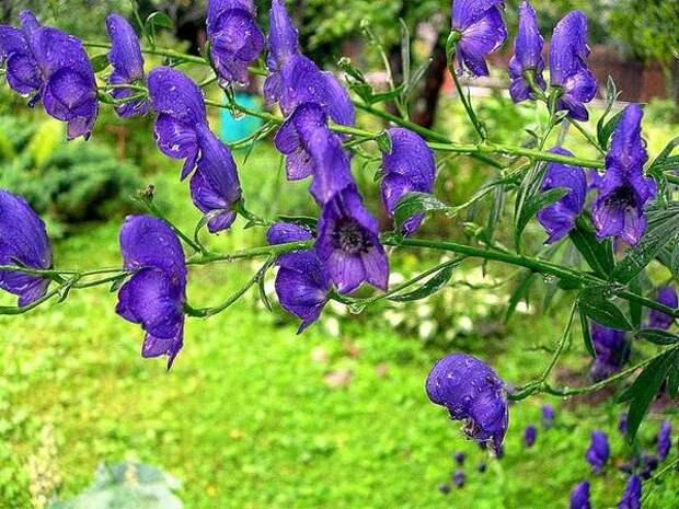 Милый и ядовитый цветочек — аконит