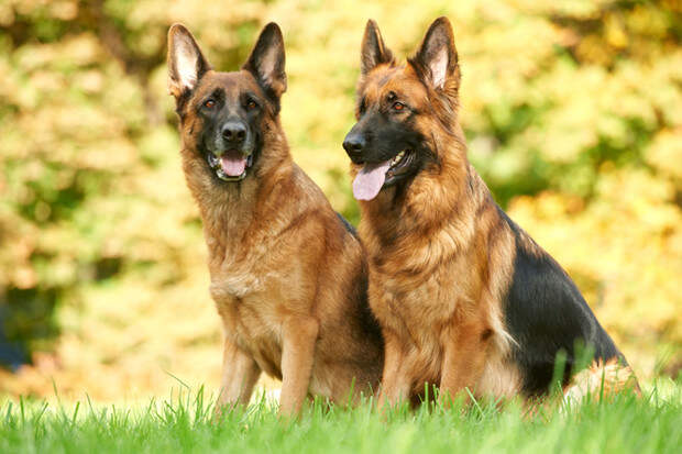 20 самых мужских пород собак