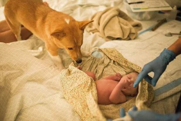 Когда малышка Беркли Сью появилась на свет, Рэйнджер очень тепло встретил ее дети, животные, история, корги, роды, семья, собака