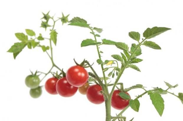 Компактные скороспелые томаты можно выращивать на балконе