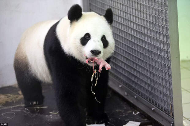 Панда Хао Хао родила крохотного детеныша в бельгийском зоопарке животные, панды