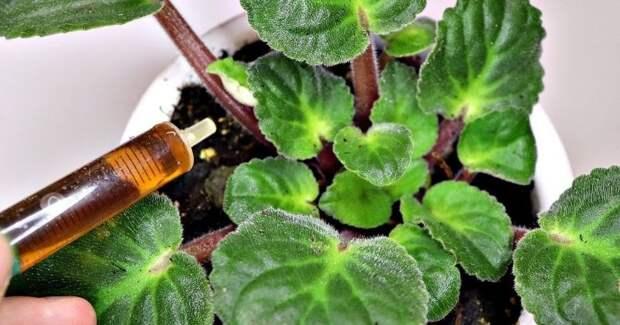 Бабушкин метод для пышного цветения: всего 10 капель под растение
