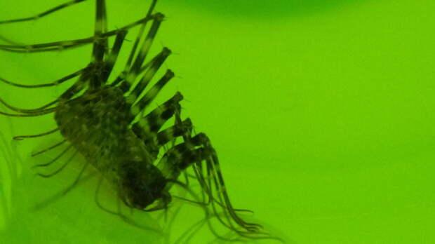 На охоту мухоловка выходит под вечер или ночью.