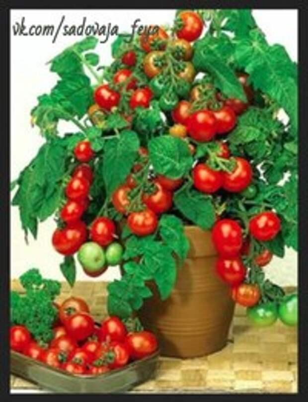 Попробуйте вырастить томаты в ведра