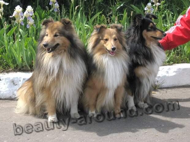 Шелти, шетландская овчарка самые красивые собаки в мире, породы собак с фотографиями