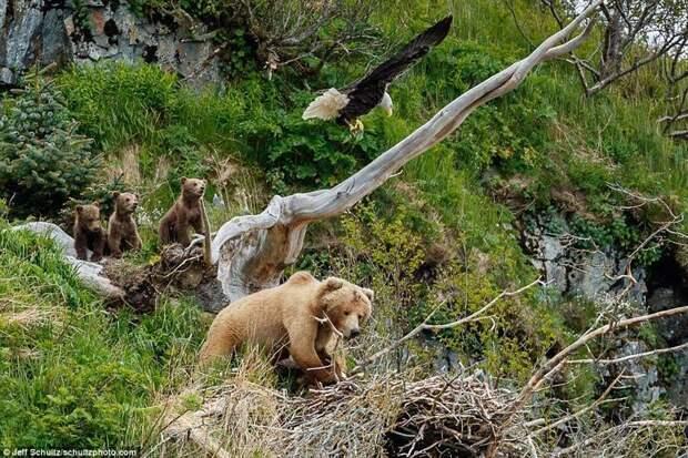 Орел расправляет крылья в попытке напугать разорительницу гнезд аляска, заповедник, медведица атакует, медведица с медвежатами, орел, орлиное гнездо, орлы, природа