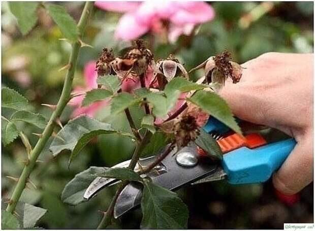О том, как правильно обрезать розы: 0