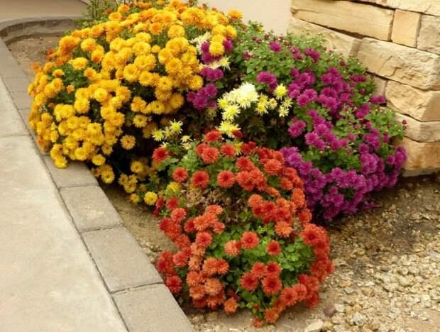 Уход за хризантемами в цветнике