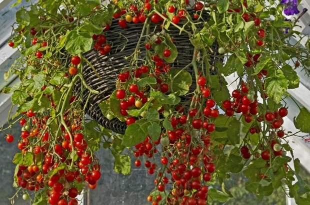все о выращивании помидоров в контейнерах