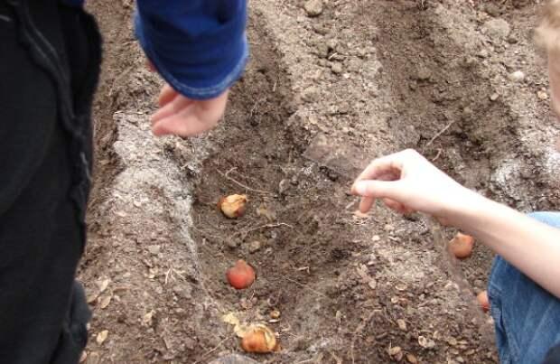 луковицы в канавке