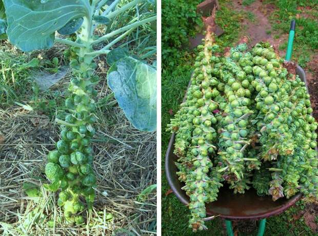 Как растут некоторые фрукты и овощи: необычные факты о привычных продуктах