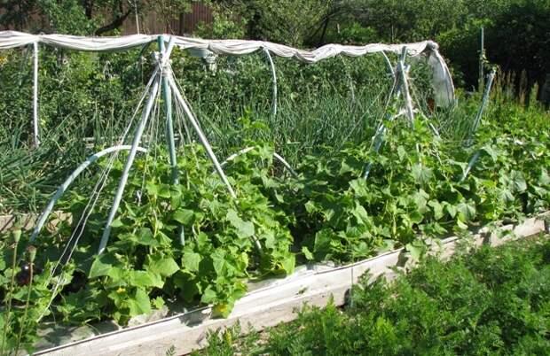 поднятие растений на шатры (фото автора)