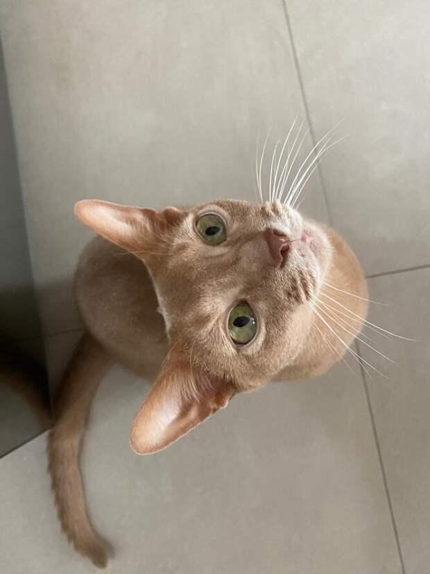 Абиссинцы: что нужно знать, если вы берете котенка этой породы