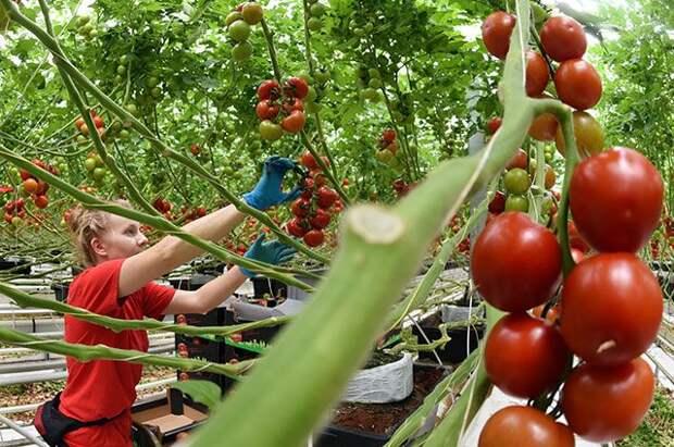 Помидоры. «Лечебник» для овощных и плодовых культур