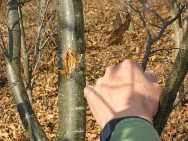 Разрыв на коре дерева