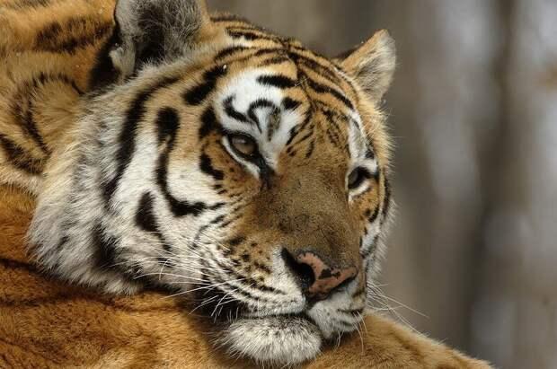 Амурский тигр © Валерий Малеев