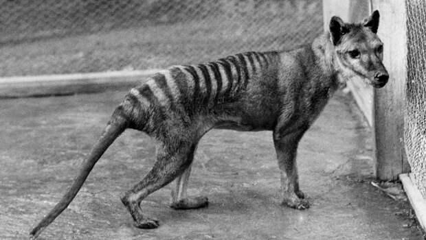 Сумчатый волк вымерли, животные, история, человек
