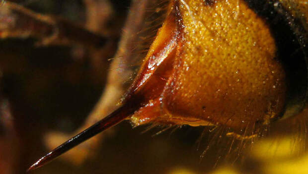 Укус шершня: чем опасен, первая помощь, лечение, последствия