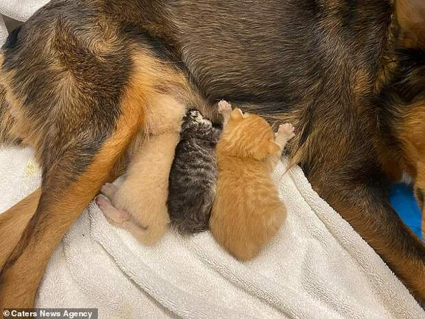 Осиротевшим котятам стала приемной мамой собака по кличке Джорджия