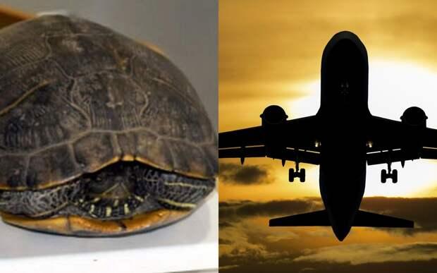 Не торопитесь: черепаха вышла на прогулку и задержала вылет пяти самолетов