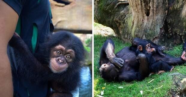 Мягкая игрушка заменила маленькому шимпанзе мать, когда настоящая его бросила