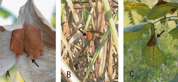 Расписная летучая мышь  (лат. Kerivoula picta)