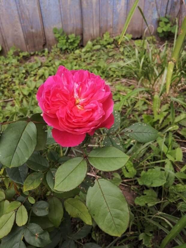 Расскажу про Розы Шрабы.