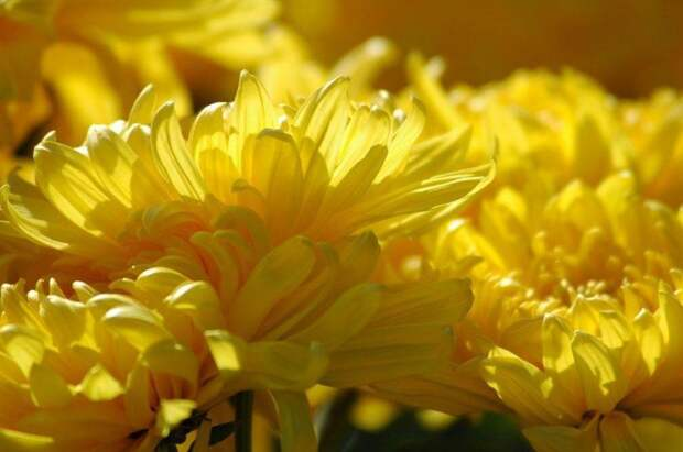 Хризантемы.