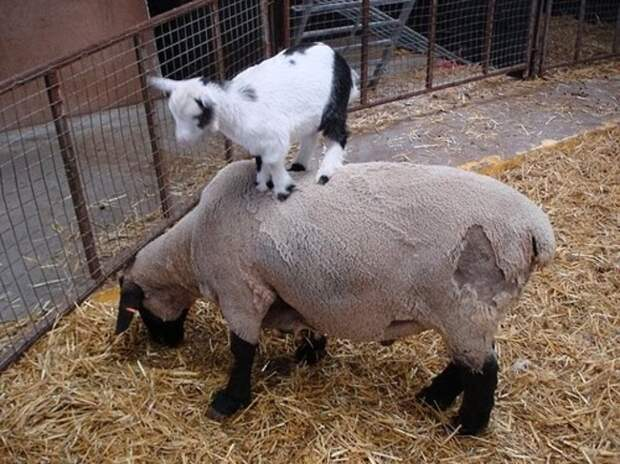 29 фотографий супер очаровательных и непоседливых козлят - 14