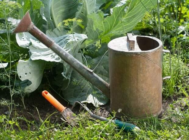 Теперь под каждое растение необходимо вносить по одному литру жидкого удобрения.