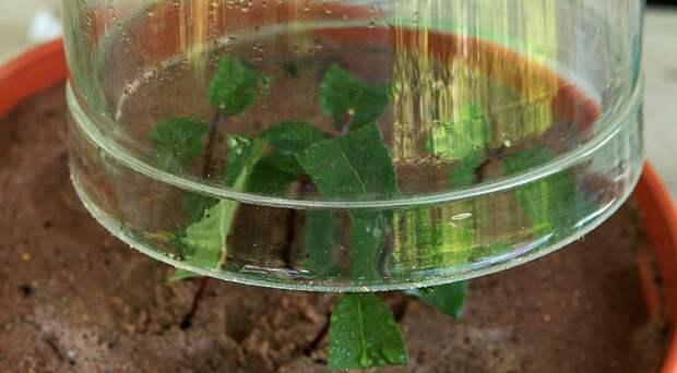 Как быстро размножить съедобную жимолость черенками летом