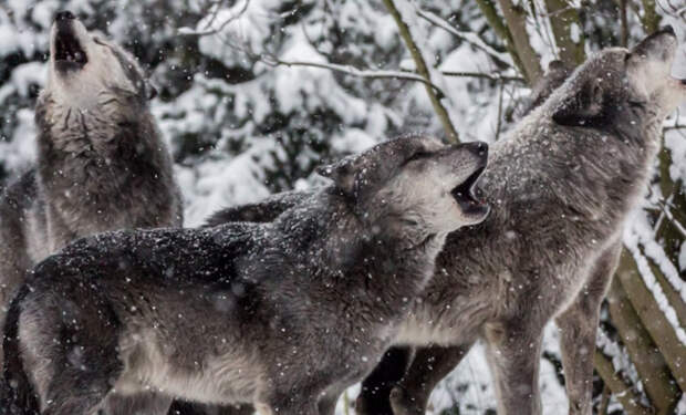Лесник 3 дня завоевывал доверие волка: потом подошел и выручил из ледяного плена