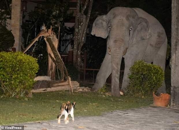 Отважный котенок прогнал слона-хулигана