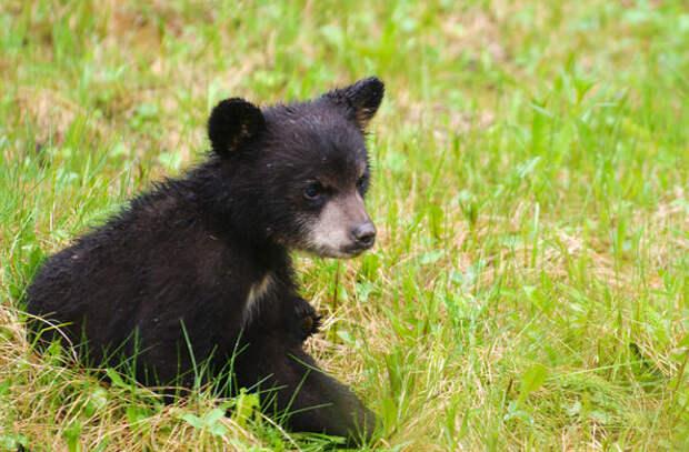 Медвежата украли флаг с поля для гольфа