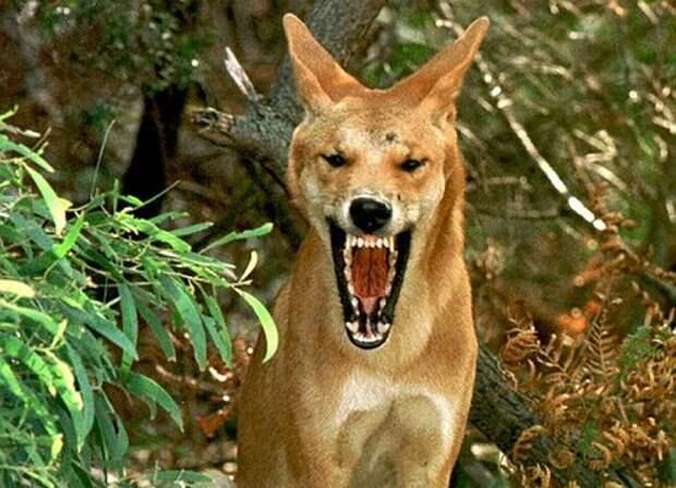 Собака-Динго-Описание-и-образ-жизни-динго-3